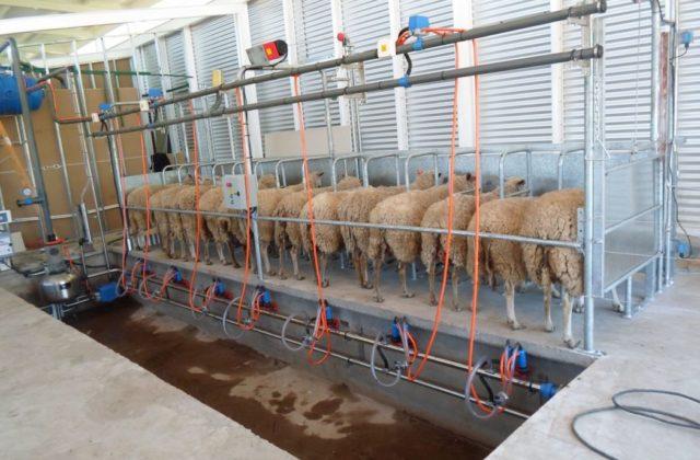 Bretes para cabras y ovejas