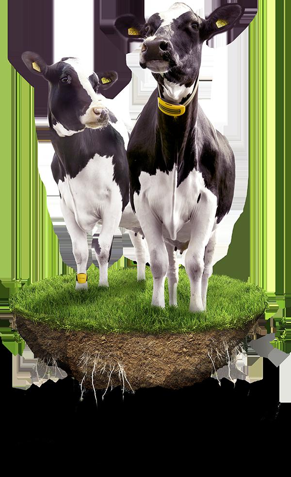 nedap-cow